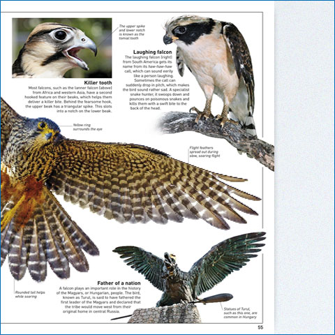 Find Out With Eyewitness Eagle And Learn About The Development Anatomy Mating Nesting Habits Of Birds Prey As Well Techniques For